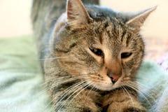 Apenas despertar el gato precioso foto de archivo