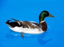 Apenas Ducky Fotografía de archivo libre de regalías