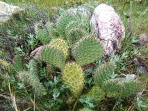Apenas la mirada no toca el racimo del cactus Imágenes de archivo libres de regalías