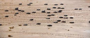 Apenas las tortugas verdes tramadas van hacia el océano Imagen de archivo libre de regalías