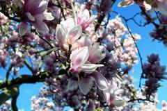 Apenas llovido encendido Flores rosadas de la magnolia Fotografía de archivo