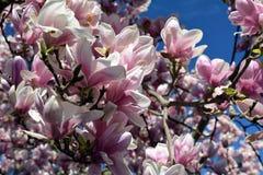Apenas llovido encendido Flores rosadas de la magnolia Fotos de archivo libres de regalías
