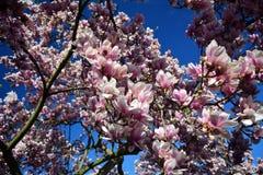 Apenas llovido encendido Flores rosadas de la magnolia Imagen de archivo