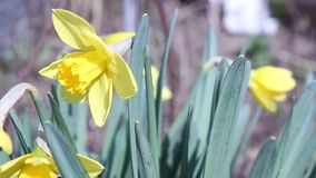 Apenas llovido encendido Narcisos Primavera almacen de metraje de vídeo