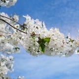 Apenas llovido encendido Rama de árbol maravillosamente floreciente Spri agradable Imagen de archivo libre de regalías