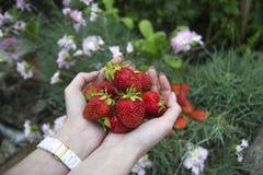 Apenas morangos orgânicas vermelhas frescas escolhidas nas mãos das senhoras Fotos de Stock Royalty Free