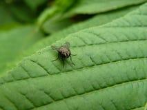 Apenas mosca Foto de Stock Royalty Free