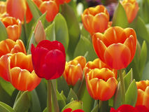 Apenas na laranja Foto de Stock Royalty Free