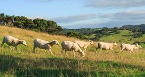 Apenas ovejas arregladas en las colinas Fotografía de archivo libre de regalías