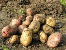 Apenas patatas cavadas de la tierra Fotografía de archivo libre de regalías