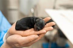 Apenas perrito nacido en hospital del animal dom?stico Concepto de la atenci?n sanitaria del animal dom?stico foto de archivo