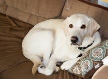 Apenas perro perdiguero amarillo despertado en el sofá fotografía de archivo