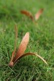 Apenas retusus de Dipterocarpus de tres pétalos Imágenes de archivo libres de regalías
