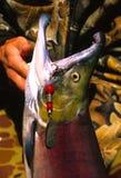 Apenas salmones e hilandero cogidos Imagen de archivo