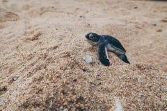 Apenas a tartaruga de mar chocada do bebê nele é maneira ao oceano, Sri Lanka imagens de stock royalty free