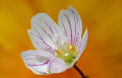 Apenas uma flor Foto de Stock Royalty Free