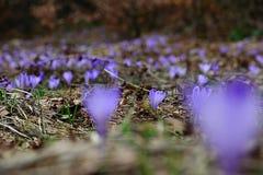 Apenas uma flor no foco do campo do açafrão Fotos de Stock Royalty Free