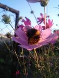 Apenas una abeja Fotografía de archivo libre de regalías