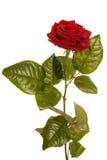 Apenas una rosa Imagen de archivo
