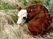 Apenas vitela nascida Fotos de Stock