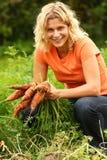 Apenas zanahorias orgánicas frescas escogidas Foto de archivo libre de regalías