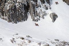 Apennines-chamoises stockfotografie