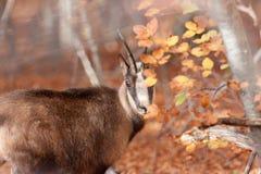 Apenninic Chamois in autumn stock photos