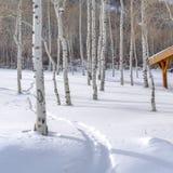 Apens di tremito sulla montagna nevosa in Park City Utah fotografia stock libera da diritti