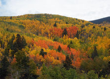 Apens on Hillside. Green, yellow, orange and red aspens on a hillside above Taos New Mexico Royalty Free Stock Photos