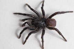 Aperçu d'araignée d'Ummidia (4 de 4) Macro d'araignée noire Photographie stock libre de droits