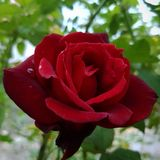 Aperfeiçoe cor-de-rosa Foto de Stock