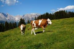 Aperfeiçoe a paisagem idílico do cume com vaca/grama verde/montanhas e um céu azul imagens de stock