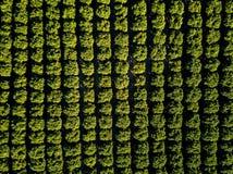 Aperto alaranjado - árvores alaranjadas embaladas em um bosque denso fotografia de stock