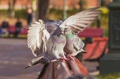 Aperto bonito de duas pombas Fotografia de Stock