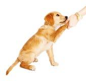 Aperto de mão do cachorrinho do golden retriever imagem de stock royalty free