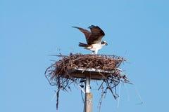 Apertura alare del Osprey Fotografia Stock Libera da Diritti