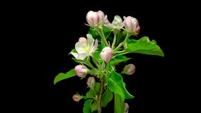 Apertura de las flores de Apple almacen de metraje de vídeo