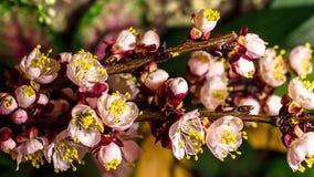 Apertura de las flores del albaricoque