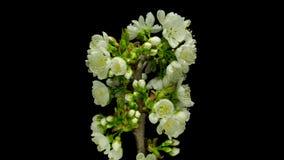 Apertura de las flores de la cereza almacen de metraje de vídeo