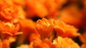 Apertura de las flores de la primavera Timelapse abierto de la primavera del flor hermoso de la flor, cierre extremo para arriba  metrajes