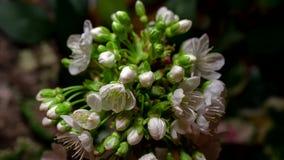 Apertura dei fiori della ciliegia archivi video
