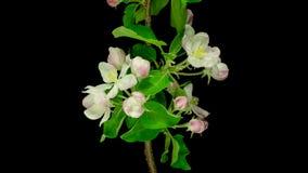 Apertura dei fiori di Apple della frutta stock footage