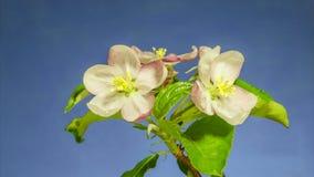 Apertura dei fiori di melo video d archivio