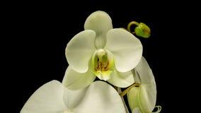 Apertura del fiore dell'orchidea stock footage