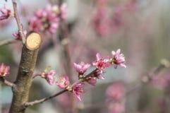 Apertura del fiore della pesca con il rosso brillante Fotografie Stock Libere da Diritti