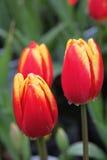 Apertura del tulipano Immagini Stock