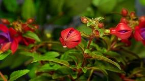 Apertura fucsia dei fiori