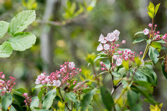 Apertura rosa dell'alloro di montagna in primavera Immagine Stock Libera da Diritti