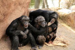 Apes. A family group of apes in a zoo in sweden stock image