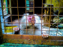 Apes Royalty Free Stock Photography
